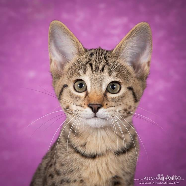 Котята саванна ф4 - фотография № 2