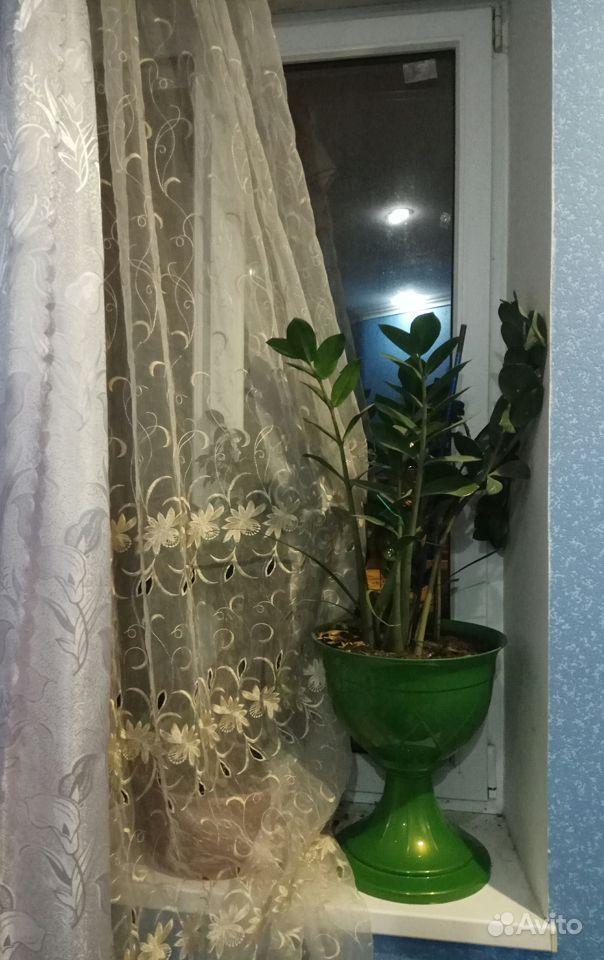 Замиокулькас (долларовое дерево) купить на Зозу.ру - фотография № 2