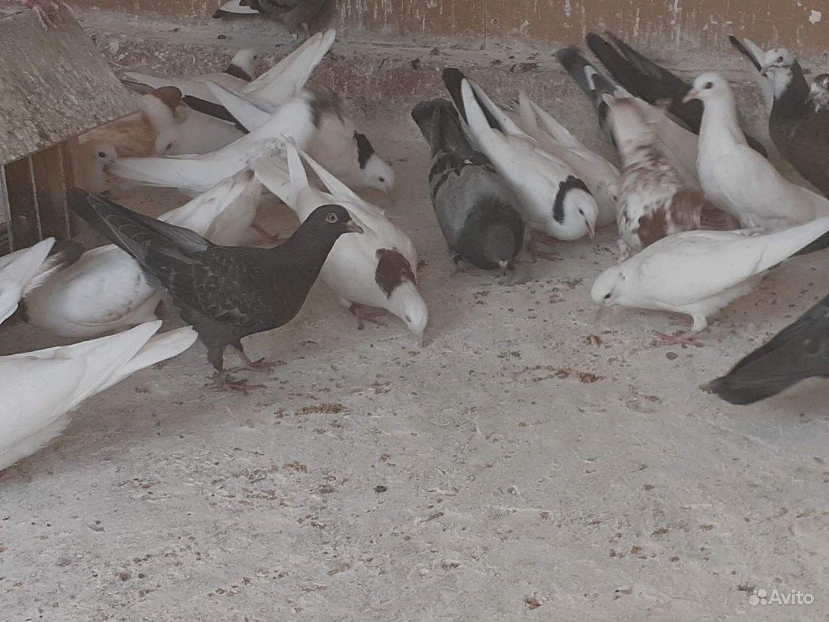 поясные бакинские голуби фото себя двумя анальными