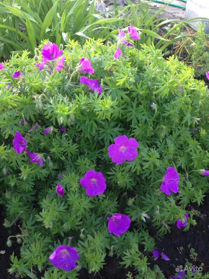 Продам растения купить на Зозу.ру - фотография № 3