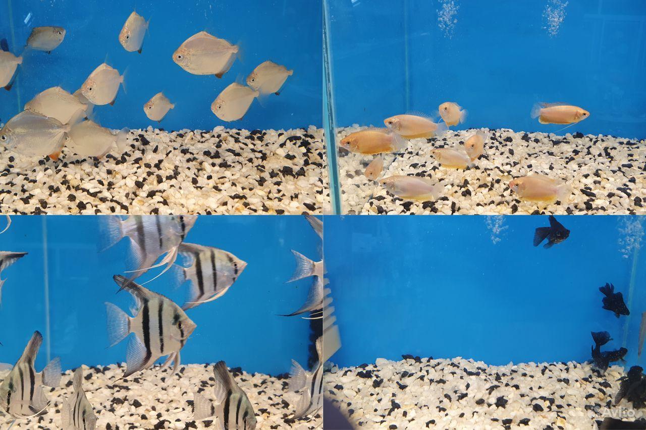 Аквариумные рыбки купить на Зозу.ру - фотография № 5