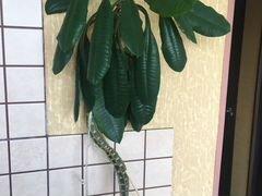 Молочай в керам.горшке растение в офис в кабинет