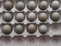 Яйца охотнечнего фазана
