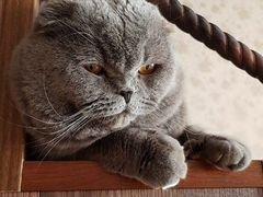 Шотландский вислоухий кот(вязка) ищет подругу для