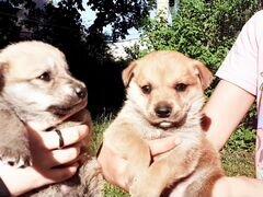 Продаю 2 щенят, 2 девочки. 2,5 месяца назад родили