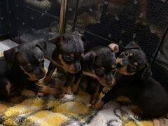 Той-терьер щенки 2 месяца