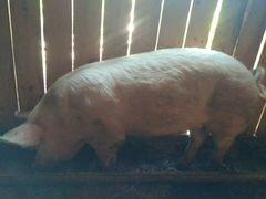 Свиньи на племя или мясо
