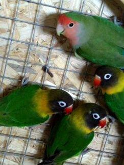 Попугайчики неразлучники