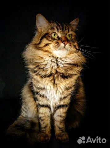 Вязка с сибирским котом в москве