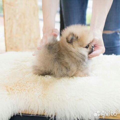 Шпиц померанский (супер-мини) тип мишка купить на Зозу.ру - фотография № 1