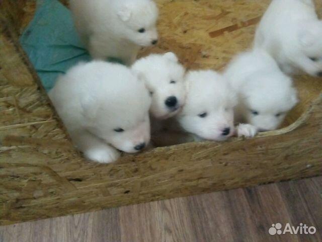 Продаются щенки Самоеда купить на Зозу.ру - фотография № 7