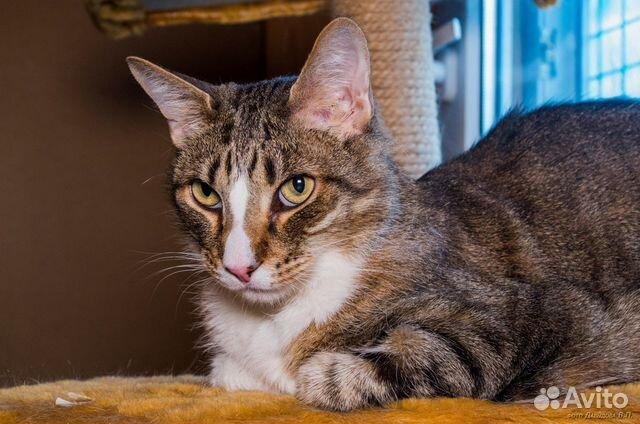Крупный кот (7 кг), кастрат, легкий диабет | Festima.Ru ...