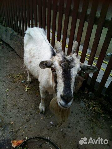 продажа коз на авито белгород