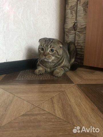 Ищем кошек для вязки купить 4
