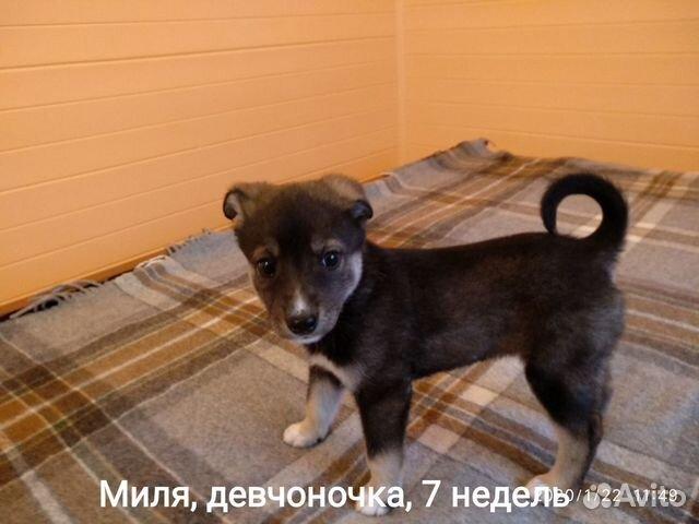 Красивые, здоровые щенки в добрые руки, любящую се купить на Зозу.ру - фотография № 4