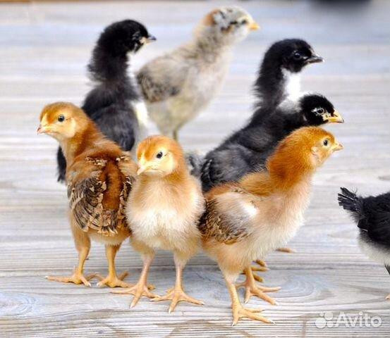 Цыплята мясо-яичные - Домашние(вывод 8.03.2020)