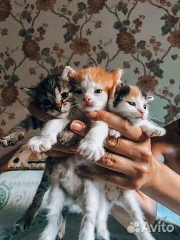 Котята рожд. 25.06  купить 4