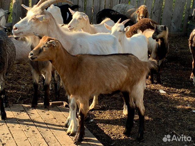 Козы,козлы  89833531001 купить 4