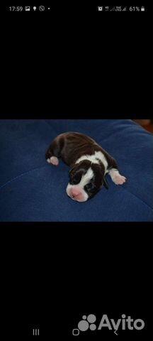 Собака  89371774406 купить 1