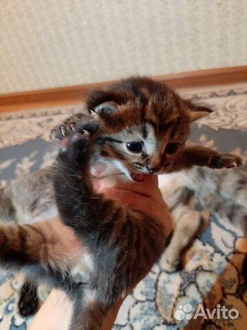 Кошка  89132359715 купить 2