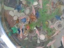 Цихлиды фламинго мальки