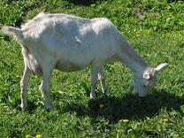 Коза дойная (Зааненская)