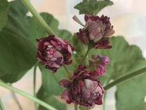 Пеларгония герань розебудная