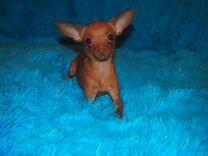 4760cc7d31658 Собаки и щенки породы Той-терьер - купить из питомников и частные ...