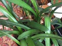 Кливия луковицы с листьями