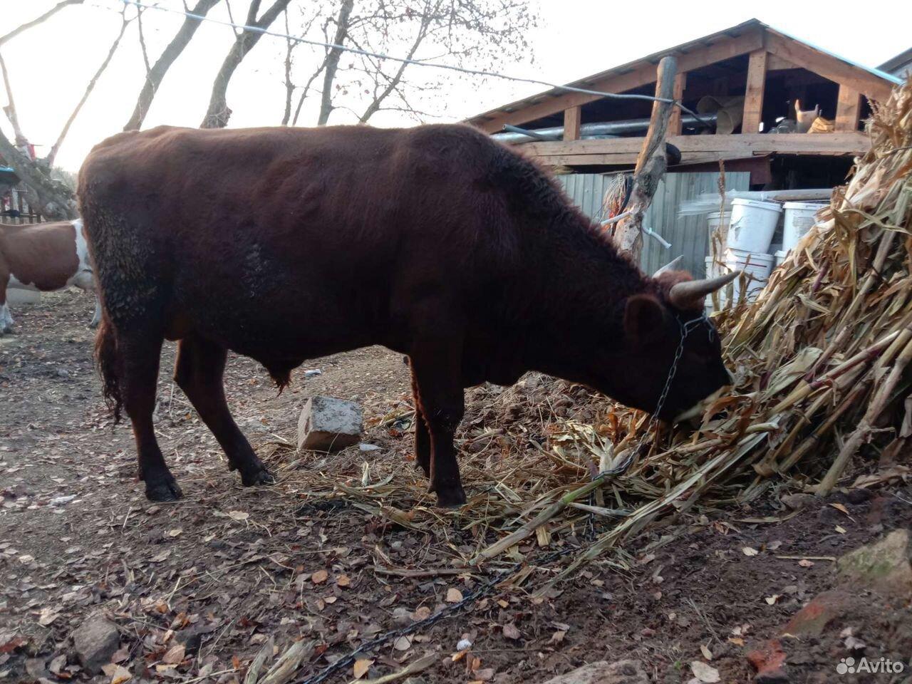 Айширский Bull 89156196344 kaufen 2