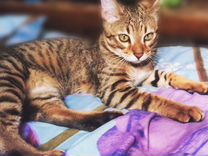 Кошка Бенгальская 1,5 года в дар