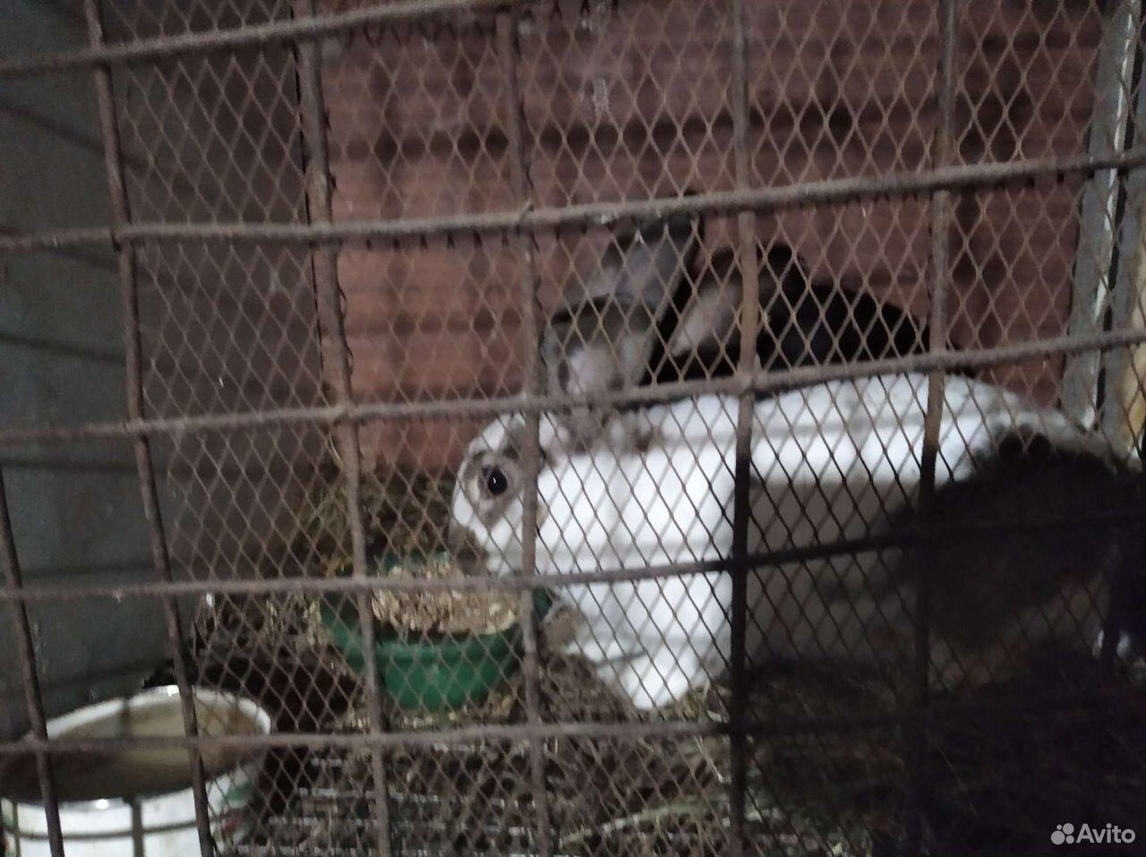 Кролики  89198032738 купить 2