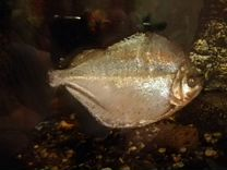 Рыба - Пираньи