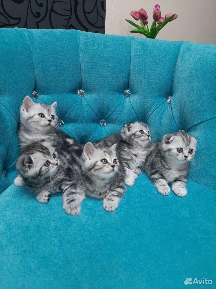 Котята британской породы  89125136404 купить 1