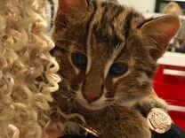 Азиатский кот,кошки