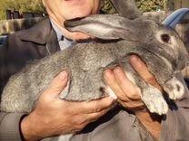 Бельгийские кролики Фландр
