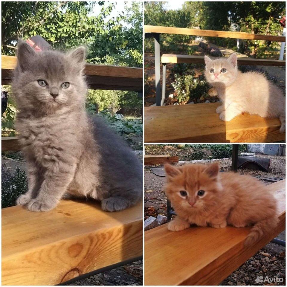 Породные котята