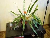 Эпифиллум — Растения в Рязани