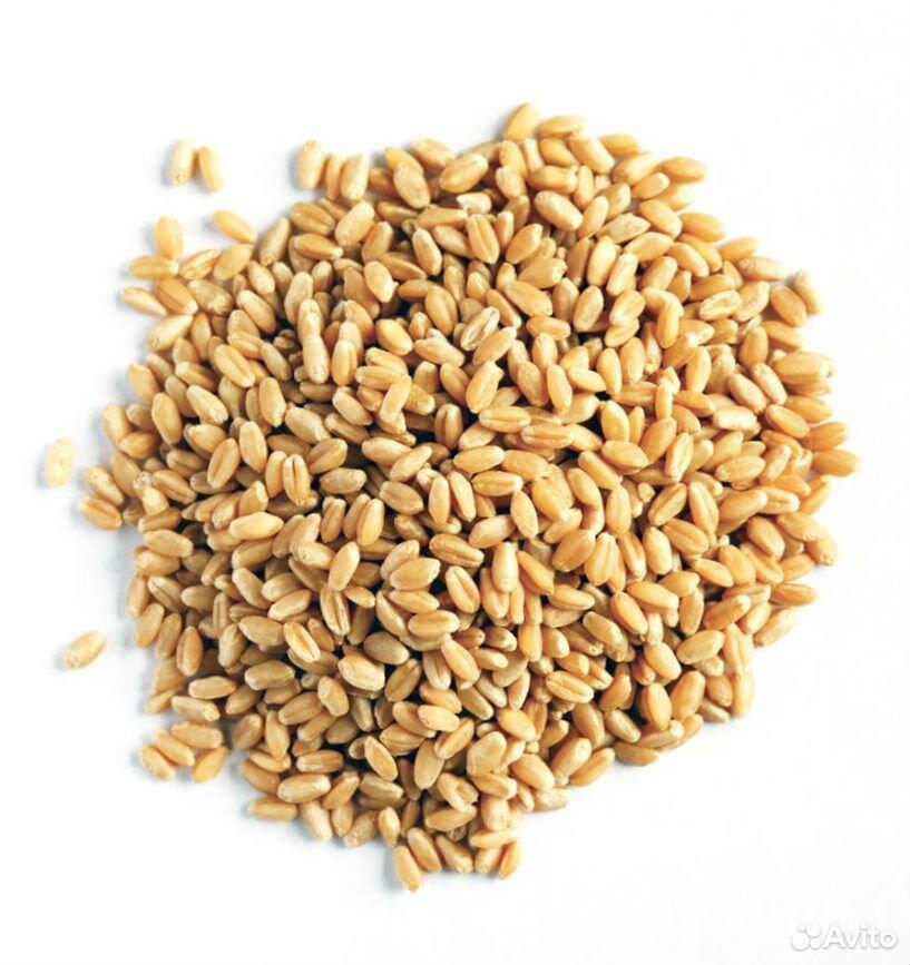 Пшеница  89136863093 купить 1