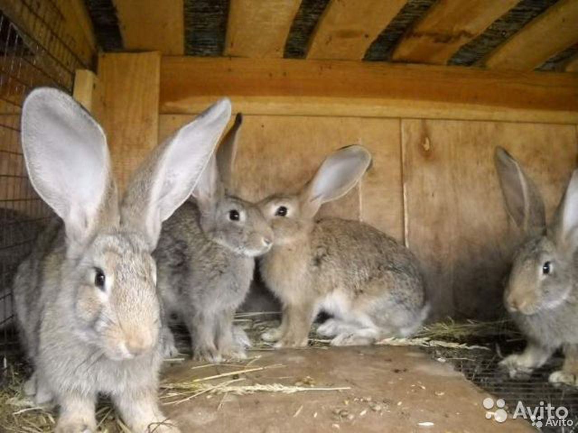 Кролики Фландер на мясо или развод  89537147874 купить 2