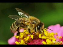 Пчелы корпатка