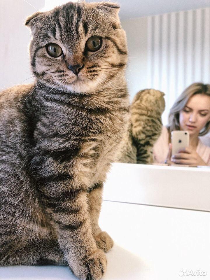 Шотландская вислоухая кошка  89270527467 купить 1