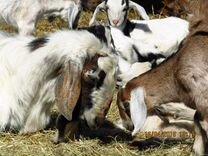 Козла и козликов англо-нубийской породы