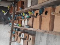 Попугайчики, голуби